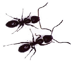 About Ants- eliminating ants inside